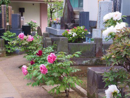 聖輪寺【参道に咲く牡丹】